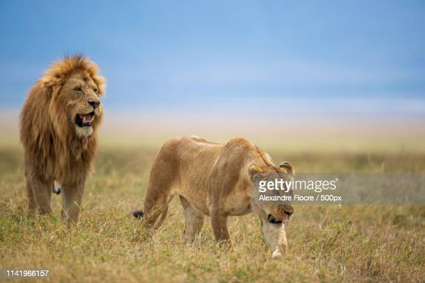 tanzania - ngorongoro conservation area stock pictures, royalty-free photos & images