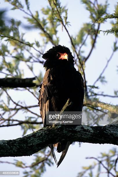 Tanzania Serengeti Bateleur Eagle