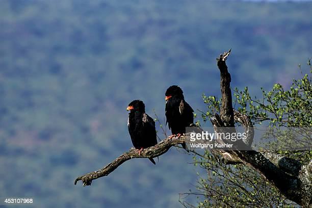 Tanzania Serengeti Bateleur Eagles