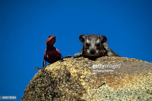 Tanzania Serengeti Kopje Agama Lizard Rock Hyrax