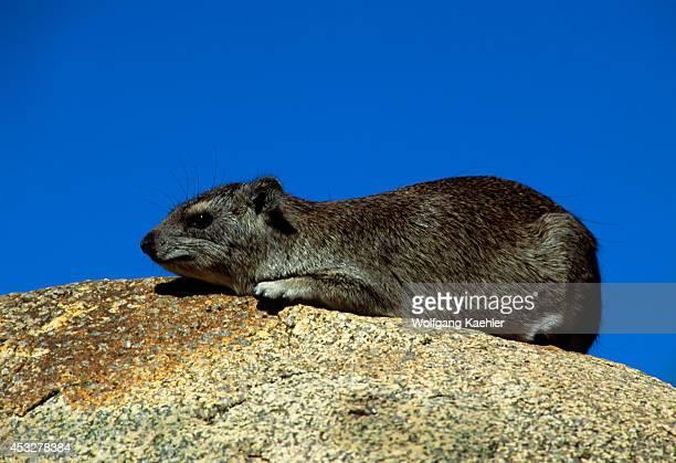 Tanzania Serengeti Kopje Rock Hyrax