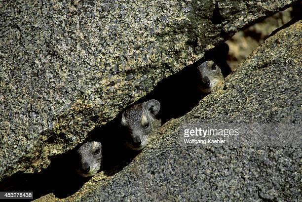Tanzania Serengeti Kopje Rock Hyraxes In Rock Crevice