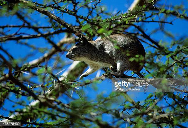 Tanzania Serengeti Kopje Tree Hyrax Feeding In Acacia Tree
