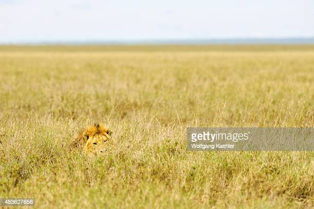 Tanzania Serengeti National Park Male Lion In Grass