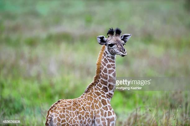 Tanzania Serengeti National Park Masai Giraffe Baby Only A Few Days Old
