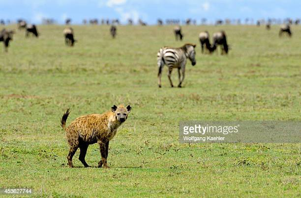 Tanzania Serengeti National Park Spotted Hyaena Wildebeests And Zebras In Background