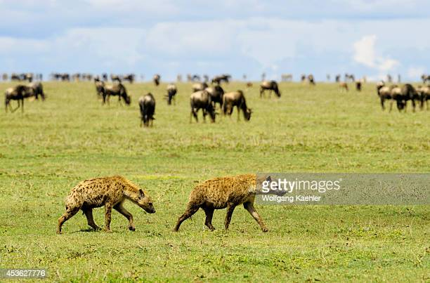 Tanzania Serengeti National Park Spotted Hyaenas Wildebeests And Zebras In Background