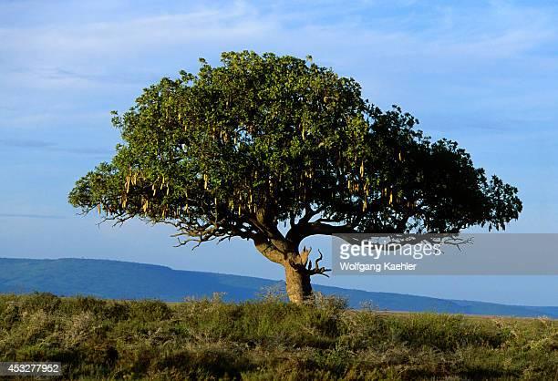 Tanzania Serengeti SAUSAGE Tree