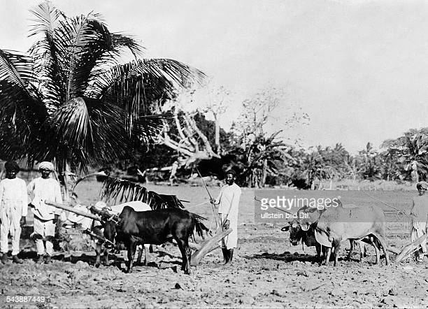 Tanzania Tanga German East Africa Plantation at the ancient German colony Indian field hands plow a field by dint of oxen Photographer Berliner...