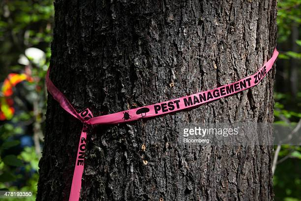 Tape signifying mountain pine beetle infestation is wrapped around a pine tree in a forest near Whitecourt Alberta Canada on Thursday June 4 2015...