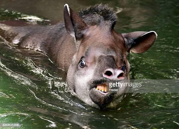tapir in water