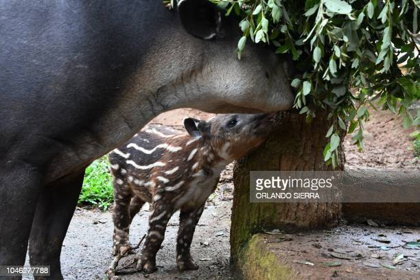 Tapirs are seen at the Joya Grande zoo and ecopark in Santa Cruz de Yojoa Cortes department 160 km north of Tegucigalpa Honduras on October 4 2018...