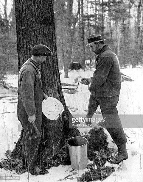 Tapping for maple syrup Canada 1936 From Peoples of the World in Pictures edited by Harold Wheeler published by Odhams Press Ltd