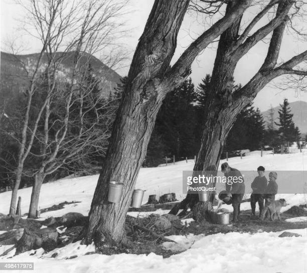 Tapping maple trees in early spring for syrup Jackson New Hampshire 1953 The syrup in the buckets will later be boiled
