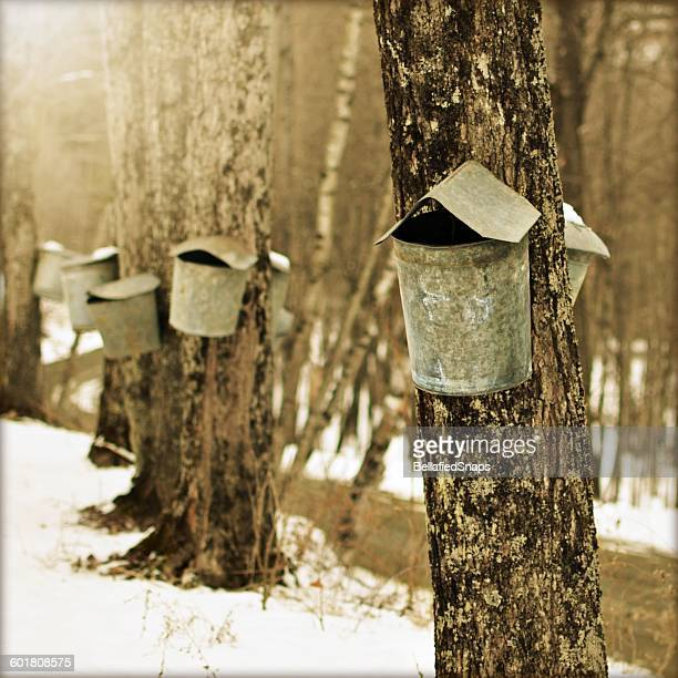 tapping maple trees, vermont, america, usa - maple tree stock pictures, royalty-free photos & images