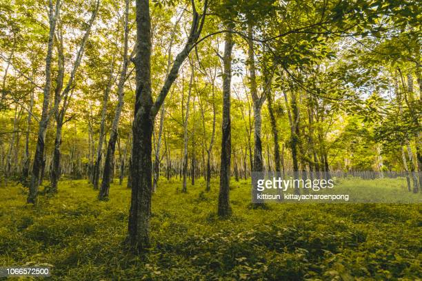 tapping rubber, rubber plantation lifes, rubber plantation background, rubber trees in thailand - tree farm stock pictures, royalty-free photos & images