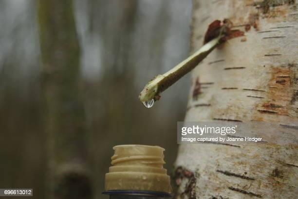 Tapping tree sap