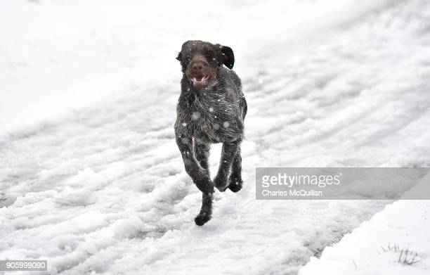Tara a German wire haired pointer plays in the snow on January 17 2018 in Belfast Northern Ireland The Met Office has placed an amber weather warning...