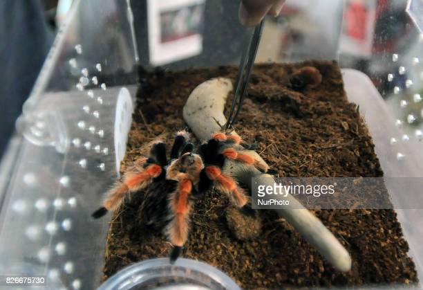 Tarantula Bicoloratum Boehmei collection of women named Ming Cu has a tarantula at home Bandung West Java on August 5 2017 Tarantula maintain at home...
