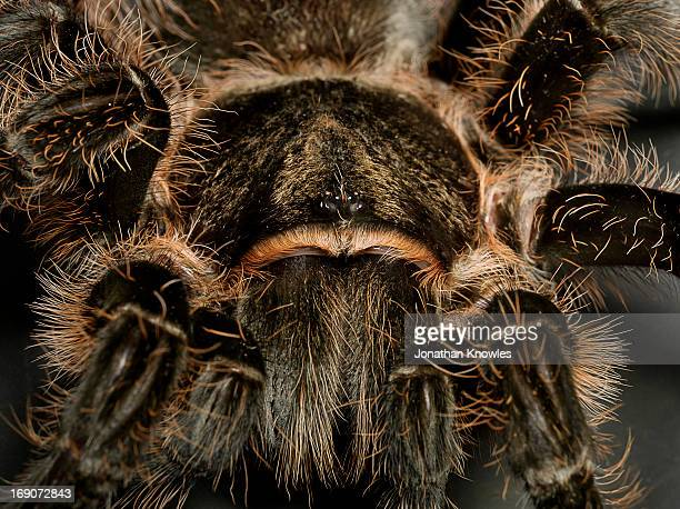 tarantula, close up - ugly spiders stock photos and pictures