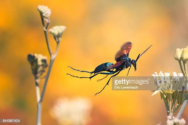 Tarantula Hawk in Flight