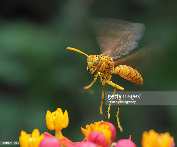 Tarantula Hawk Wasp  OR Yellow Paper Wasp