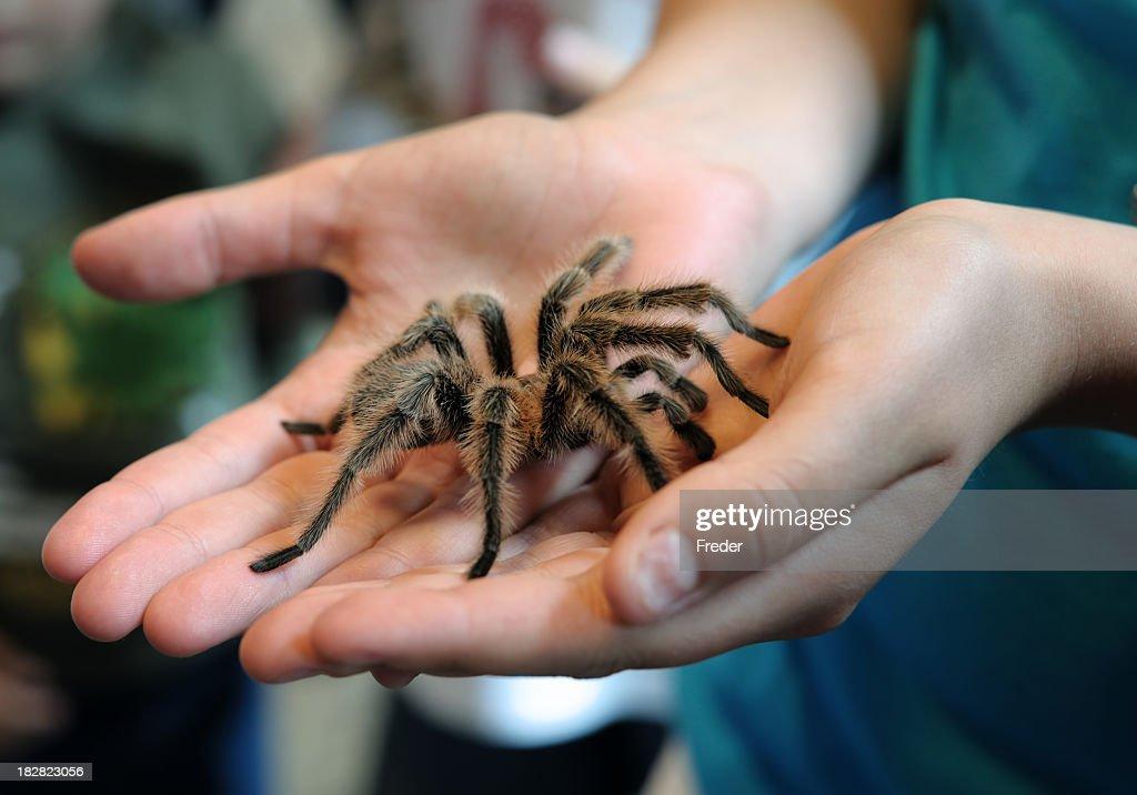 tarantula in hands : Stock Photo