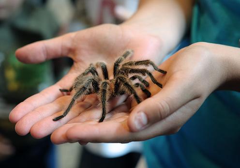 tarantula in hands 182823056