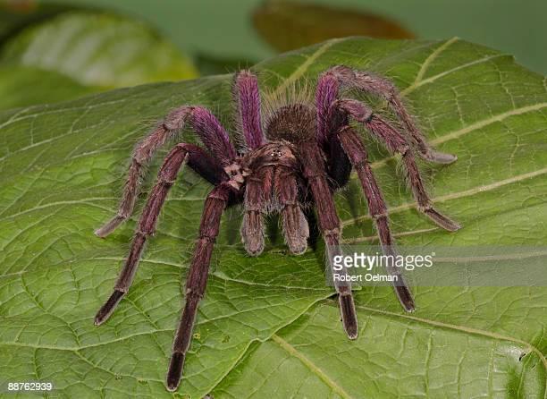Tarantula (family Theraphosidae) on leaf, Colombia