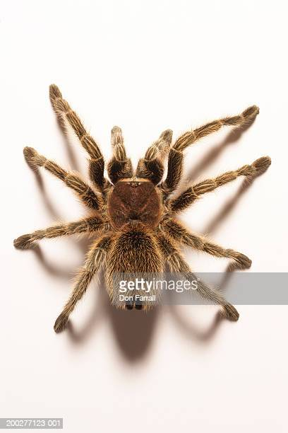 tarantula, overhead view - spider stock pictures, royalty-free photos & images