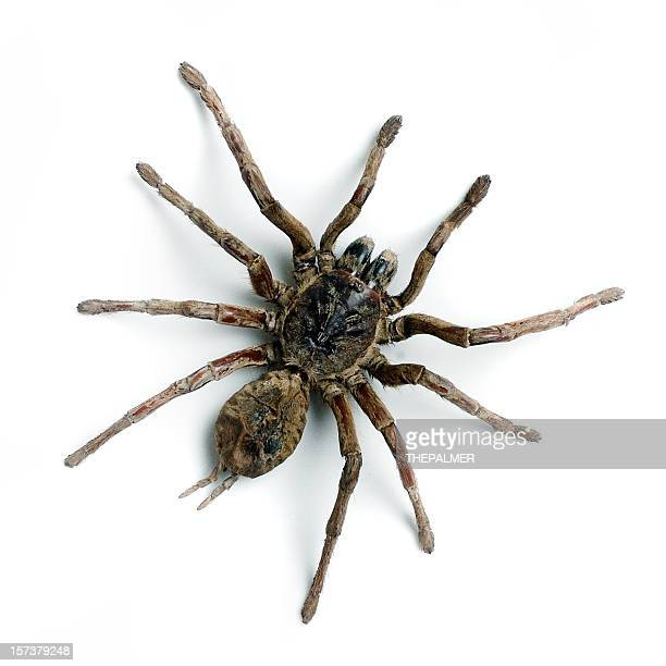 tarantula - spider stock pictures, royalty-free photos & images