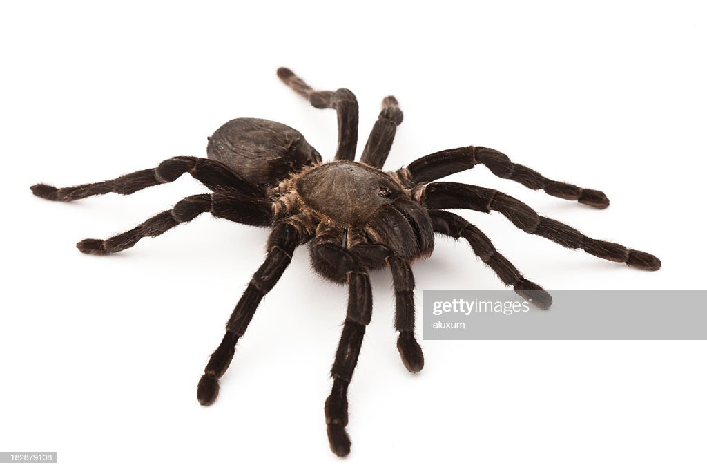 tarantula : Stock Photo