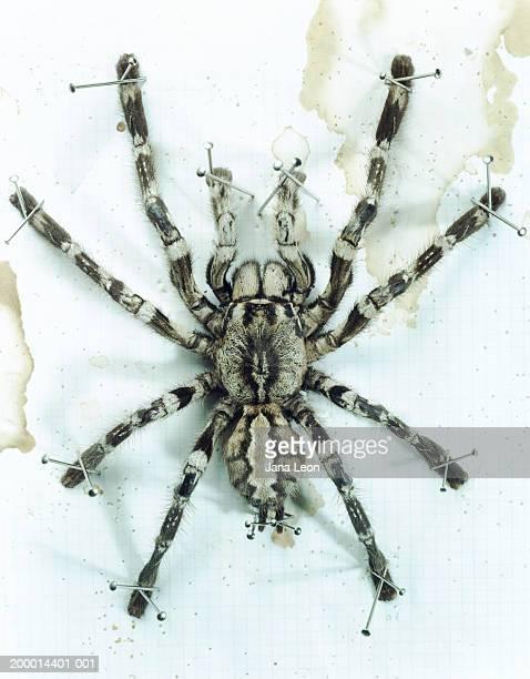 tarantula pinned on posing sheet - shock tactics stock pictures, royalty-free photos & images