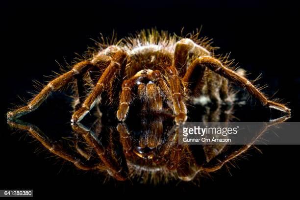 tarantula spider - gunnar örn árnason stock pictures, royalty-free photos & images