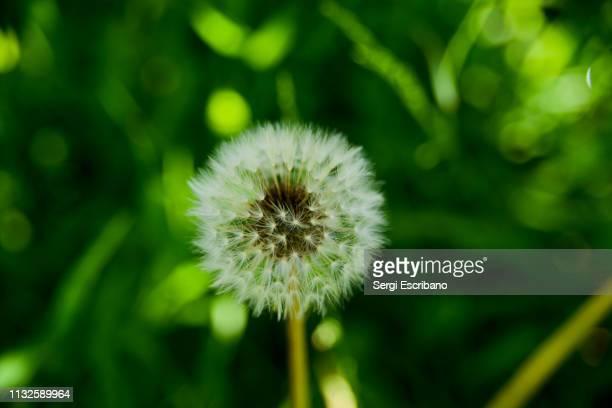 taraxacum erythrospermum - シード ストックフォトと画像