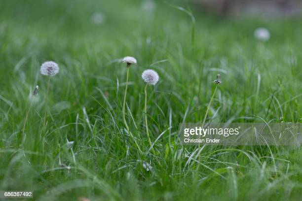 taraxacum officinale - uncultivated stock pictures, royalty-free photos & images