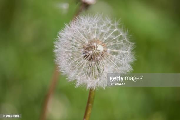 Taraxacum officinale, tarassaco, semi, dandelion, seeds.