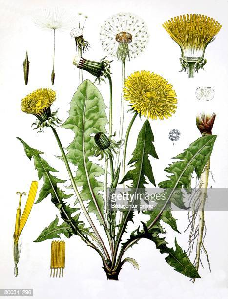 Taraxacum officinale the common dandelion dandelion Medicinal plant