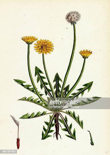 Taraxacum officinale var erythrospermum Common Dandelion var B
