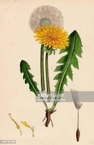 Taraxacum officinale var genuinum Common Dandelion var a