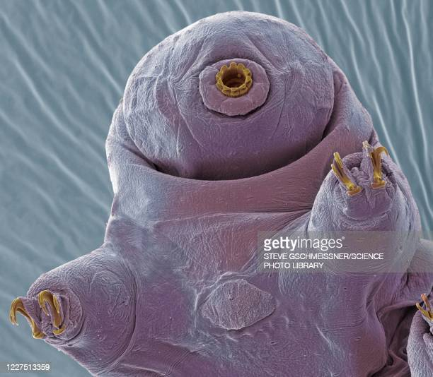 tardigrade, sem - zoology stock pictures, royalty-free photos & images