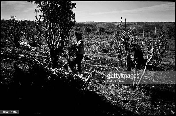 Tarefero the rural worker specialized in yerba mate crops picks leaves and branches in July 2005 in Tamandua Argentina The work under the sun is not...