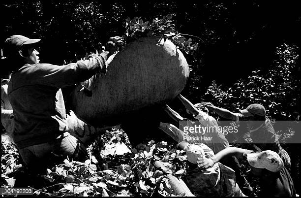 Tareferos, the rural workers who reaps the yerba mate from the shrubs, carries a sack with nearly 100 kg of newly harvested plants to be dried and...