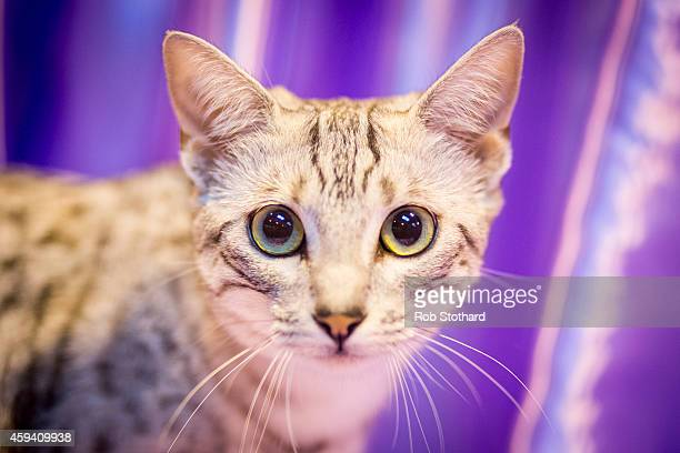 Tarjjika Gazing At A Basket an Egyptian Mau kitten being judged at the Governing Council of the Cat Fancy's 'Supreme Championship Cat Show' at the...