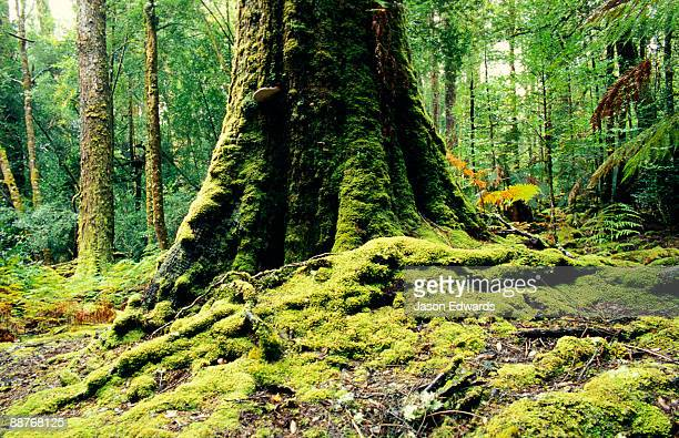 Ancient mossy buttress roots of a cool temperate rainforest giant.