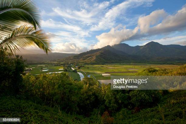 taro field, hanalei valley,kauai, hawaii - category:census-designated_places_in_honolulu_county,_hawaii stock pictures, royalty-free photos & images