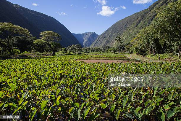 Taro Field in the Waipio Valley Waipio Valley was the residence of early Hawaiian kings A steep road leads down into the valley from a lookout point...