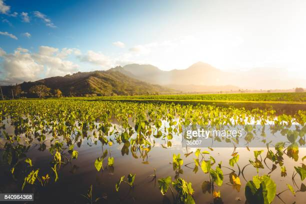 taro fields agriculture, hawaii islands - kauai stock pictures, royalty-free photos & images
