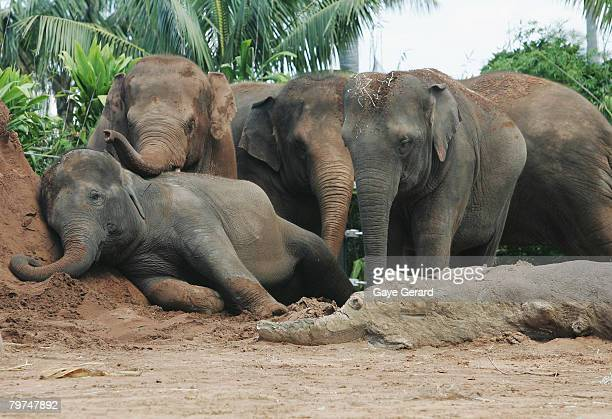 Taronga Zoo announces the pregnancy of young asian elephant 'Thong Dee' at Taronga Zoo February 14 2008 in Sydney Australia The planned pregnancy of...
