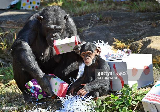 A Taronga Zoo baby chimpanzee and its mother play with their Christmas treats designed to challenge and encourage their natural skills in Sydney on...